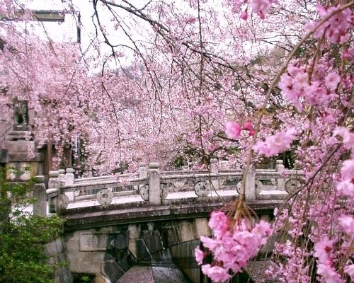 Cerisier Bois Mort : La vie est une cerise, la mort est un noyau, L' amour un cerisier